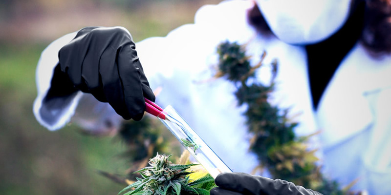 Cannabis Industry Production Safety