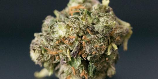 hybrid strain