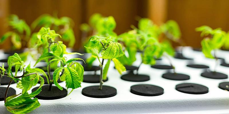 hydroponics homegrown cannabis