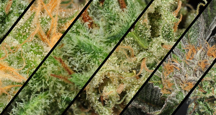 Most Popular Cannabis Strains that You Will Find in Dispensaries