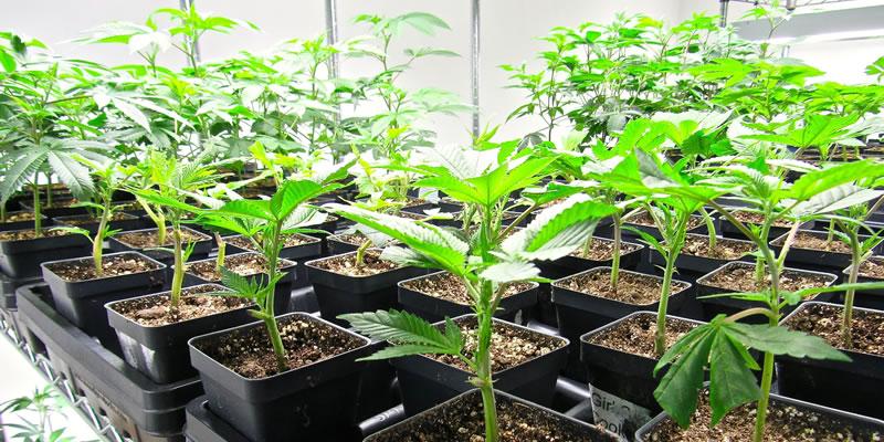 grow small marijuana plants